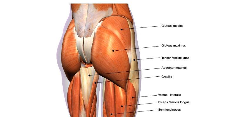 photo anatomique descriptive des différents groupes musculaires qui s'insèrent sur le bassin, les fesses et les cuisses et qui permet de bien comprendre quels muscles travailler pour perdre la graisse des fesses