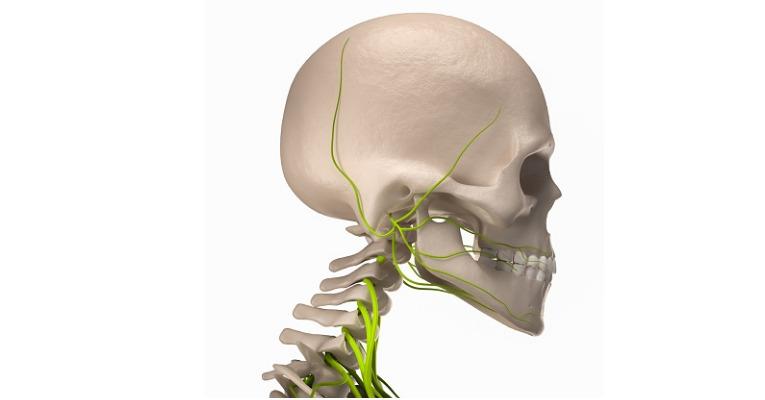 photo anatomique d'un crâne et des cervicales vu de profil qui met en évidence en vert le trajet précis et exact du nerf d'arnold et des différents nerfs crâniens